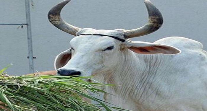 Cow राजस्थान: गौशाला में गायों की मौत पर कोर्ट की फटकार