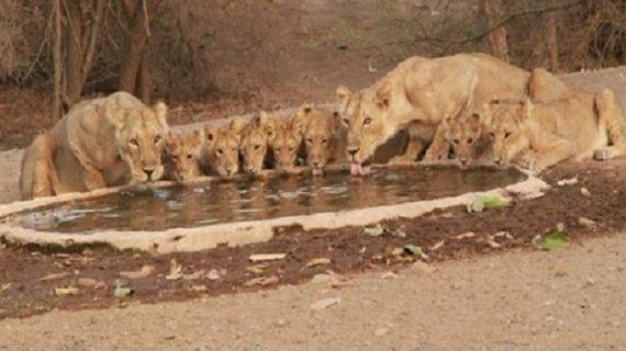 अरे वाह ! प्यास बुझाने के लिए एक घाट पर जुटे 9 शेर