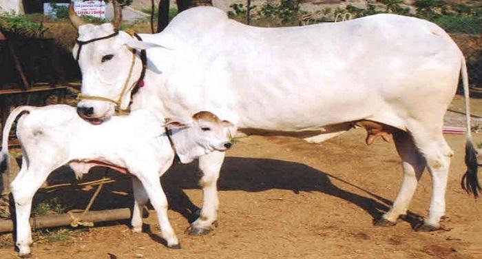 Cow 01 यूपी के बलिया में कथित 'गाय तस्करी' पर बवाल, पुलिस लाठीचार्ज में एक मौत