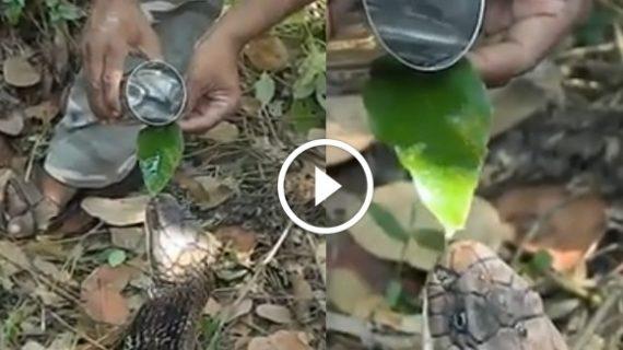 देखिए लोगों ने कैसे बुझाई किंग कोबरा की प्यास…