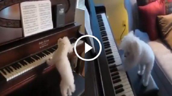 ये कुत्ता दे सकता है आपको पियानो की क्लासेज