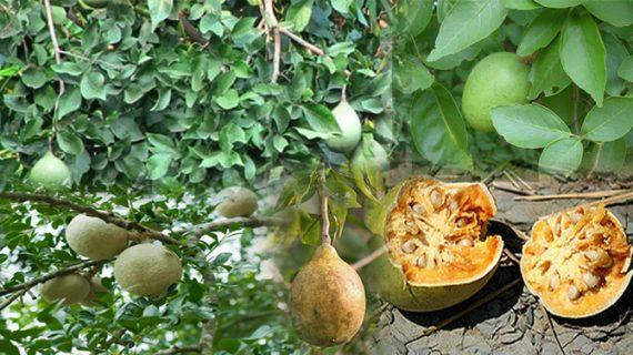 बेल के फल के इन फायदों से आप भी होंगे अंजान