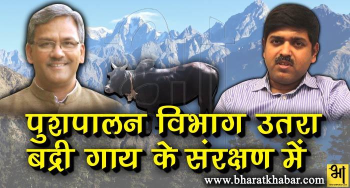 pashupalan बद्री गायों के संरक्षण और संवर्धन के लिए तैयार हुआ विशेष प्रोजेक्ट