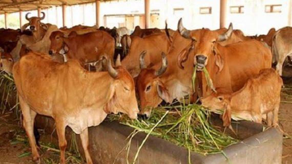 हरियाणा सरकार ने किया अधूरा वादा पूरा, तोहफे में दी दूध न देने वाली गाय
