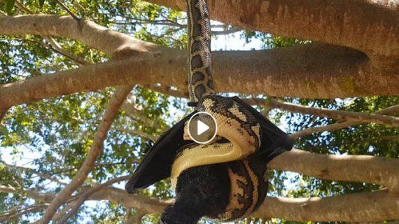 वायरल वीडियो: जब अजगर के मुंह फंस गई चमगादड़ जाने फिर क्या हुआ किस की हुई मौत