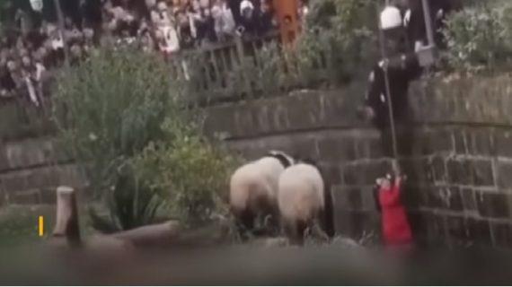 वाडियो वायरल: खूंखार जानवरों के बाड़े में गिरी 8 साल की बच्ची, लोगों की अटकी सांस