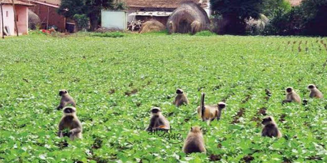 destroying crops फसलों को नष्ट करने वाले बंदरों के खिलाफ उत्तराखण्ड सरकार उठज्ञयेगी ये कदम