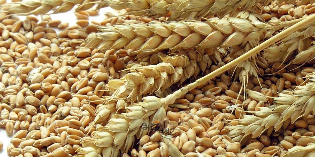 wheat केएमएस-2019 के दौरान 163- लाख मीट्रिक टन धान की खरीद: खाद्य व नागरिक आपूर्ति मंत्री