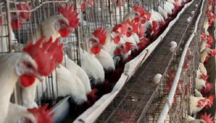 चिकन बिहार में कोरोना की वजह से चिकन कारोबार में भारी नुकसान, 160 रुपए बिकने वाला चिकन 60 रूपए