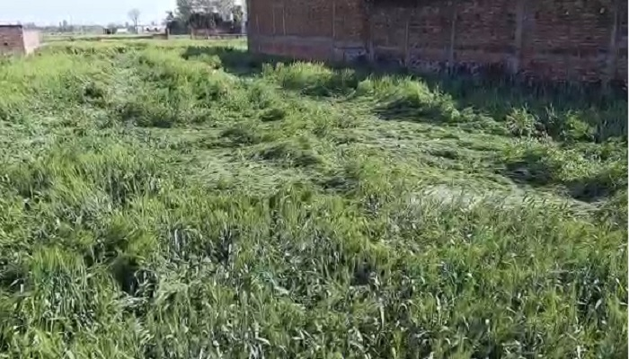 फसल सिद्धार्थनगर जिले में तेज हवा और बारिश के कारण किसानों की गेहूँ और दलहन की फसलें बर्बाद