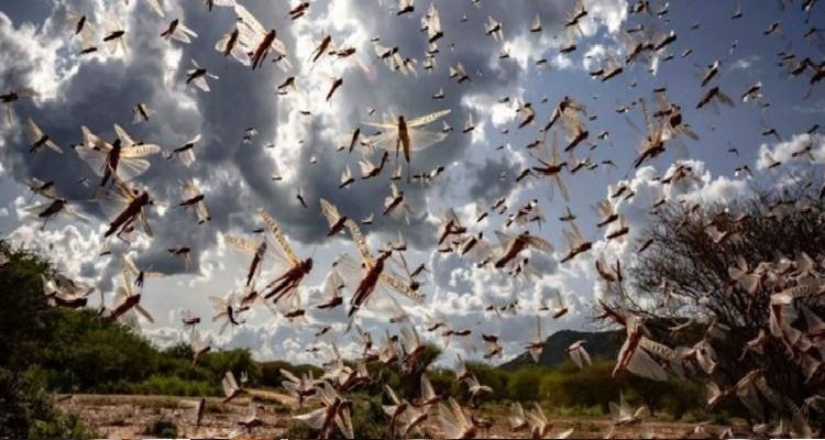 टिड्डियां 1 टिड्डियों के हमले को लेकर सरकार सर्तक, दिल्ली सरकार ने जारी की एडवाइजरी