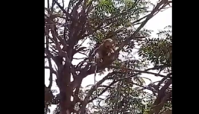 मेरठ मेरठ मेडिकल कॉलेज में बंदरों का आतंक, लैब टेक्नीशियन से कोरोना जांच का सैंपल छीना
