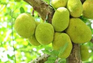 kathal 2 कोरोना काल में मांस का मजा इस फल में ले रहे लोग, क्या आपको भी सता रही नॉनवेज की याद?