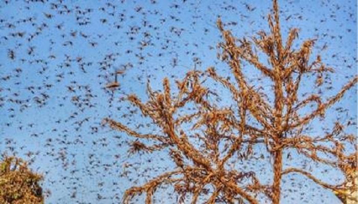 टिड्डी दल को खत्म करने के लिए हेलीकाप्टर राजस्थान के बाड़मेर के लिए भरेगें उड़ान