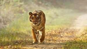 Corbett Tiger उत्तराखंड में बाघ का आतंक, रूद्ररपुर में ट्यूशन जा रहे बच्चों पर किया हमला..