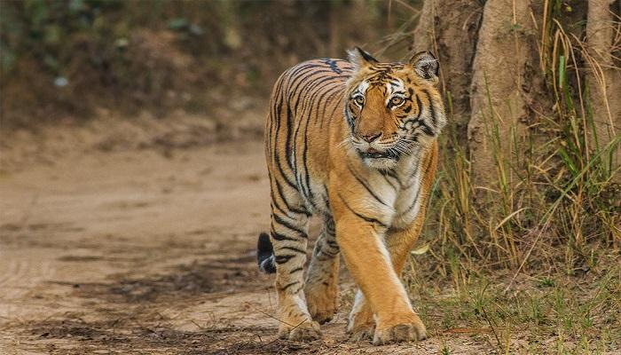 Corbett Tiger.jpg 2 विश्व बाघ दिवस आज, जानिए अब देश में कितनी है बाघों की संख्या