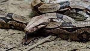 boa snake 2 बिना संबंध बनाए सांप कैसे पैदा कर रहे बच्चे?