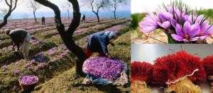 kesar 3 केसर के उत्पादन को बढ़ाने के लिए मोदी सरकार ने उठाया बड़ा कदम..