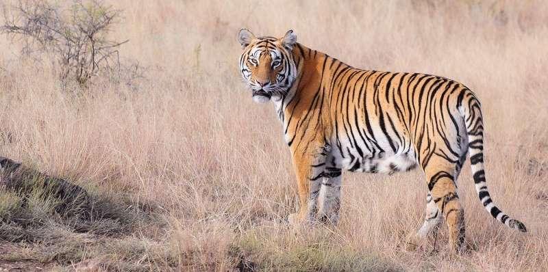 International Tiger Day 2020: बाघों को बचाने की एक मुहिम, जानें दुनिया में कितने बचे है बाघ
