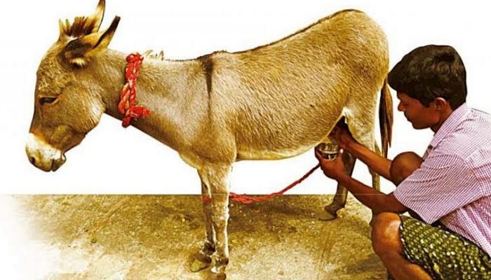 donkey 1 गधी के दूध के फायदें जान लिए तो भूल जाओगे दुनिया के सारे दूध, दुनिया का सबसे महंगा दूध..