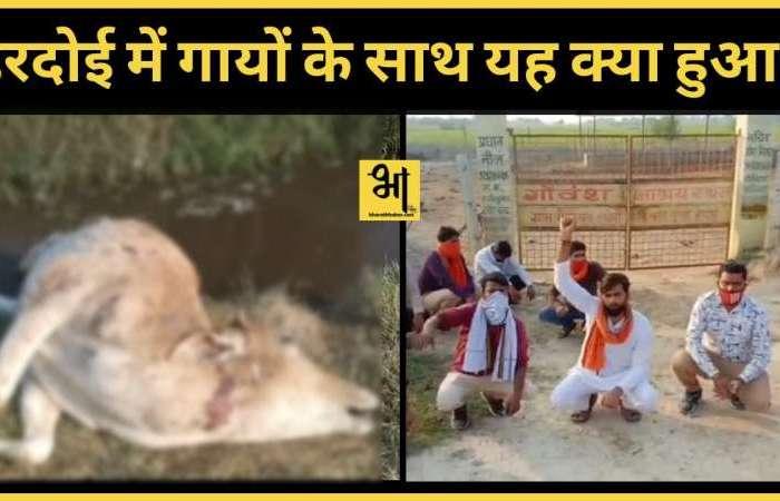 योगी सरकार में गौशालाओं का बुरा हाल हरदोई में दर्जनों गायों की भूख से तड़प तड़प कर मौत