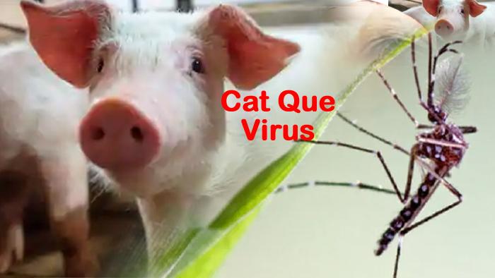 चीन से नये Virus की आहट, सूअर-मच्छर और फिर इंसानों को करेगा टारगेट