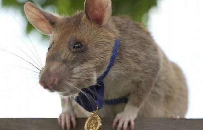 इस देश में चूहे को मिला वीरता पुरस्कार, लोगो की बचाई जान