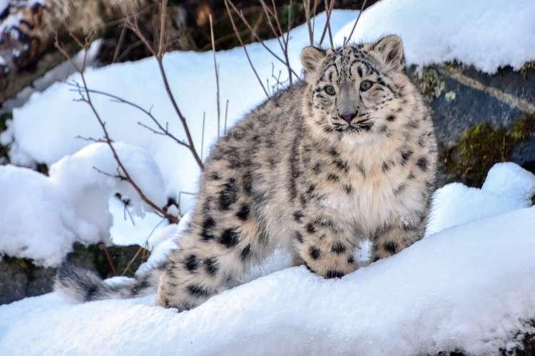 देश का पहला हिम तेंदुआ संरक्षण केंद्र