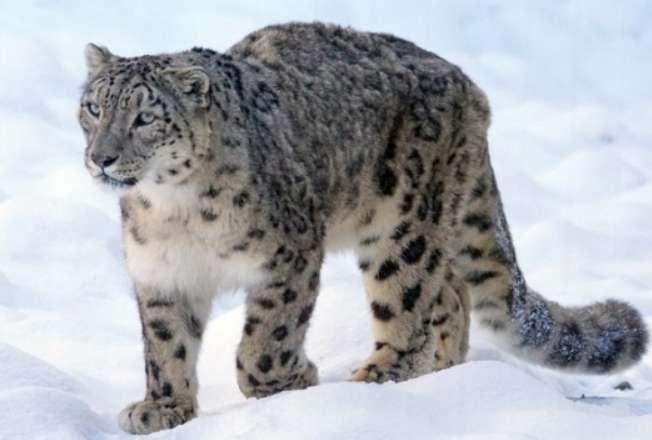 file photo leopard इंसानों के बाद कोरोना जानवरों को बना रहा शिकार, तीन तेंदुए हुए पॉजिटिव