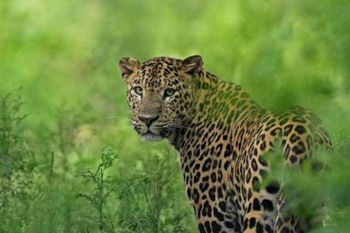 भारत में बाघों और शेरों के बाद अब तेंदुओं की संख्या में वृद्धि, पीएम मोदी ने दी बधाई